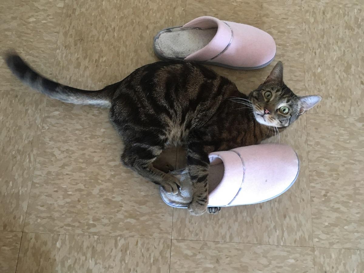chat paresseux jouets chat jouant avec des chaussures
